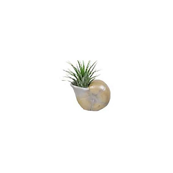 Assorted_Seashell_Airplant_1