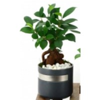 4.5_inch_Metallic_Stripe_Bonsai.png