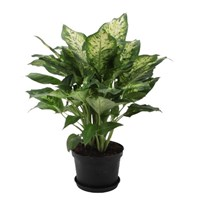 Dieffenbachia_(Perfection_Compacta)