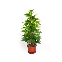Epipremnum_golden_pothos_totem_IMG_9526_jpg_new