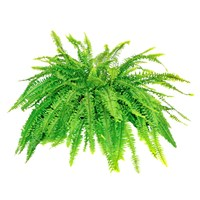 boston-fern
